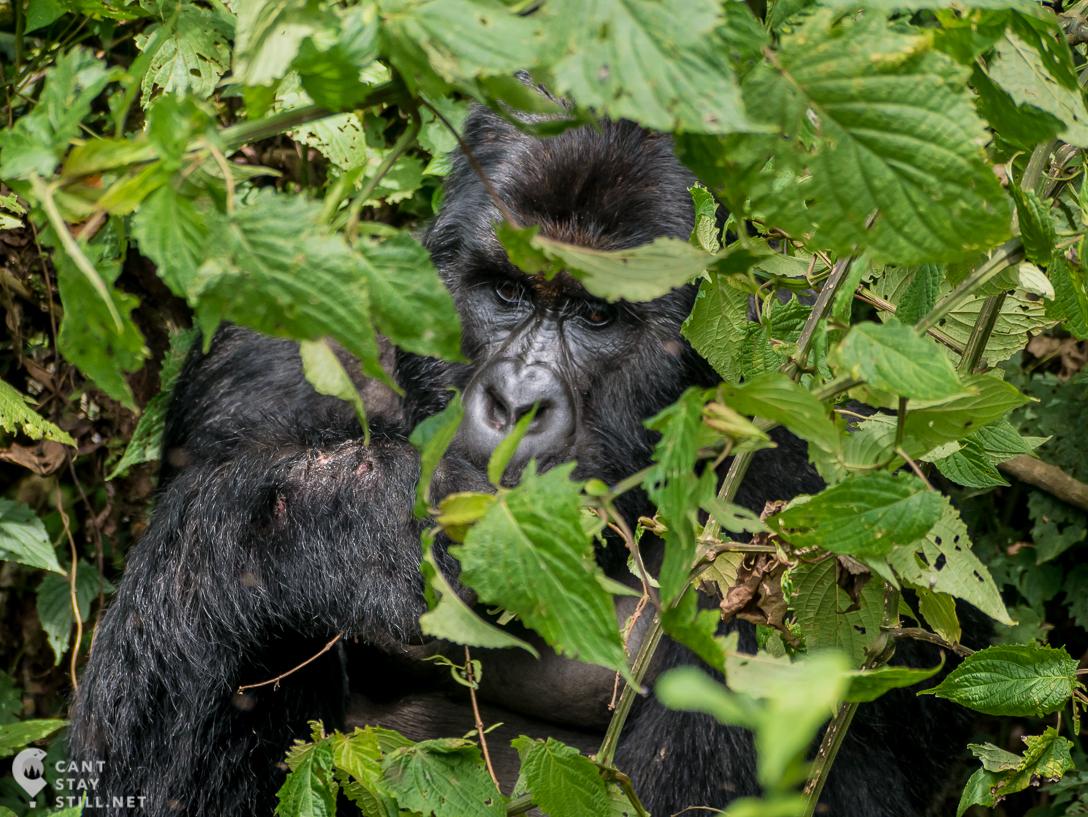 silverback in Virunga Congo