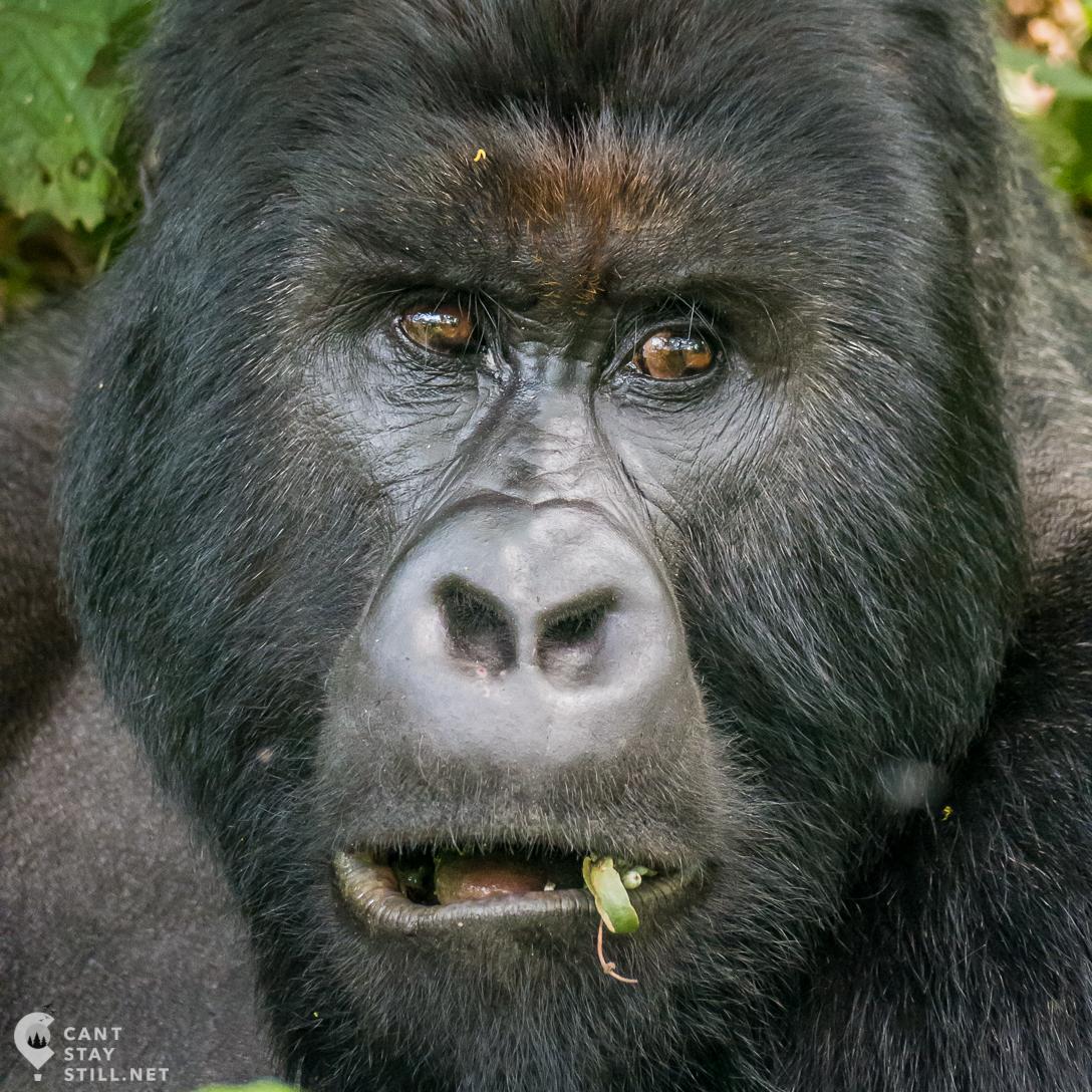 silverback portrait in Virunga Congo