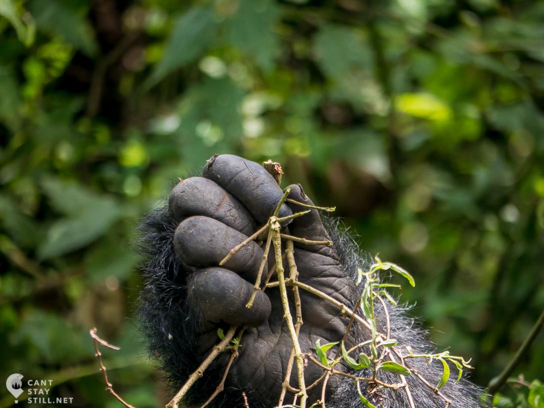 silverback mountain gorilla hand in Virunga Congo