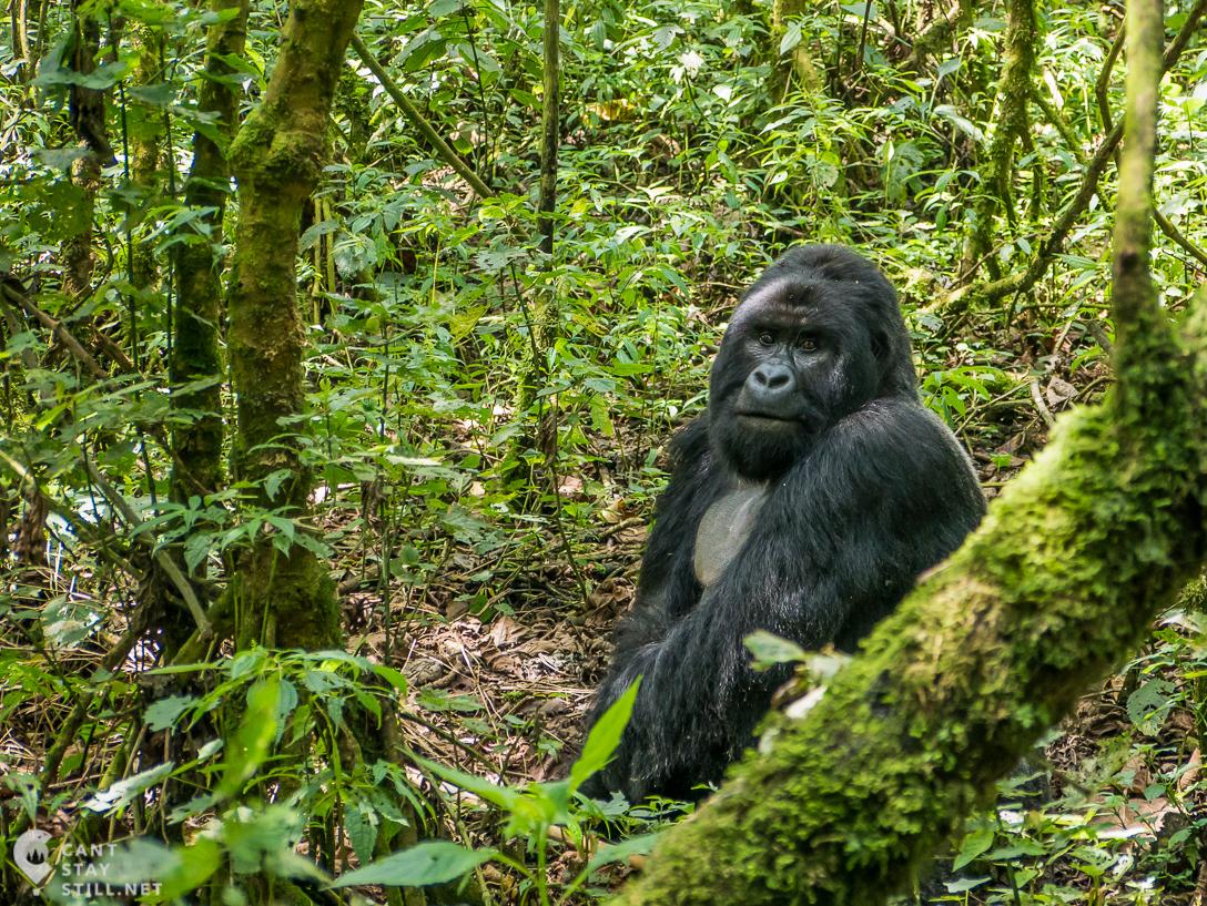 silverback mountain gorilla in Virunga Congo