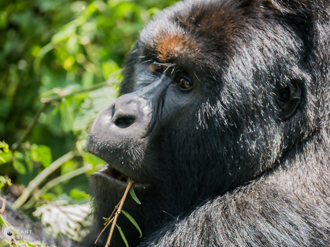 visiting the National Park means supporting one of the most vulnerable protected areas in Africa, including the critically endangered mountain gorilla