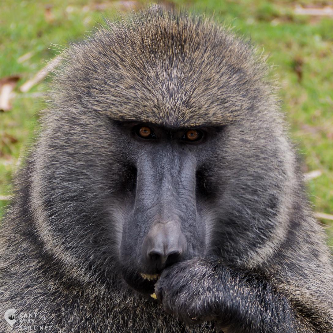 cheeky male baboon wants more bananas in Uganda