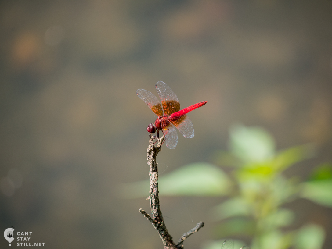 red dragonfly on the shore of the Nile, Uganda, Africa