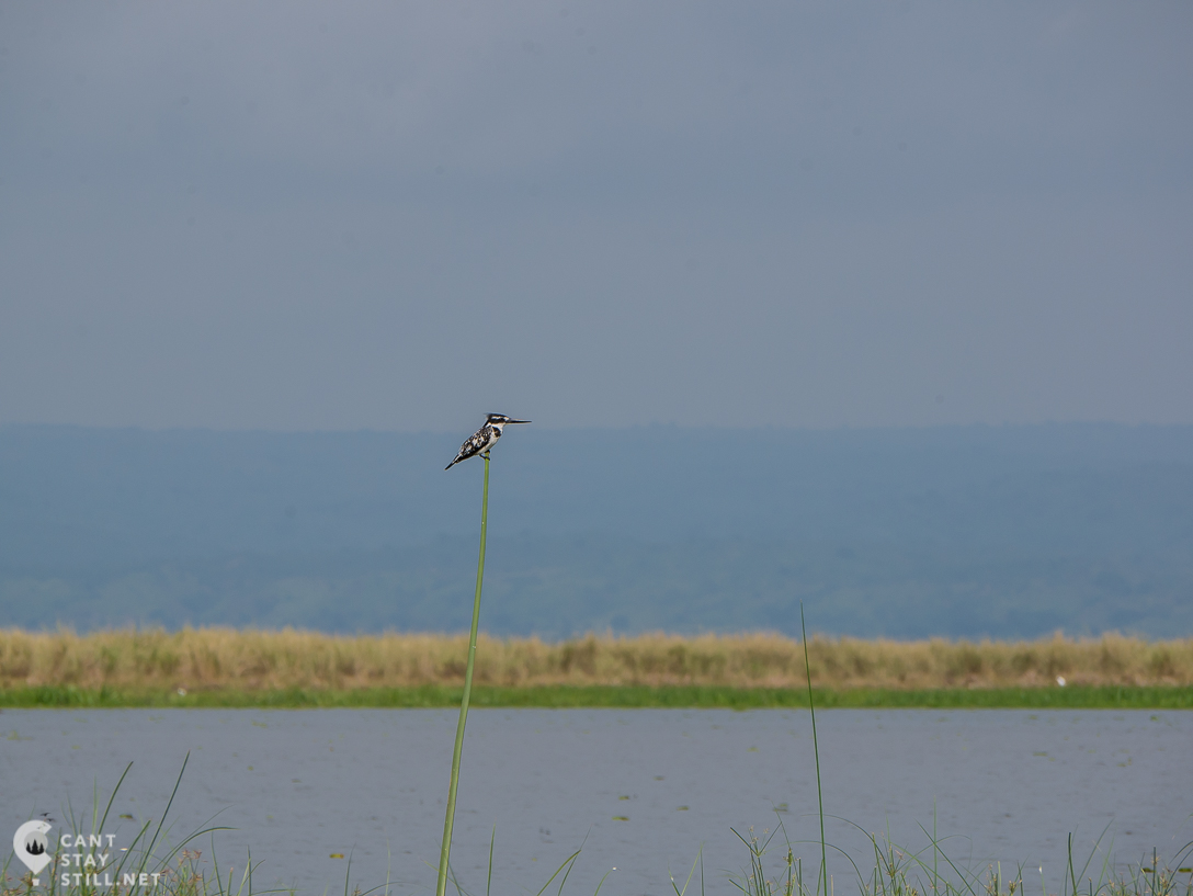 a pied kingfisher chilling on the side of the Nile, safari in Uganda, Africa