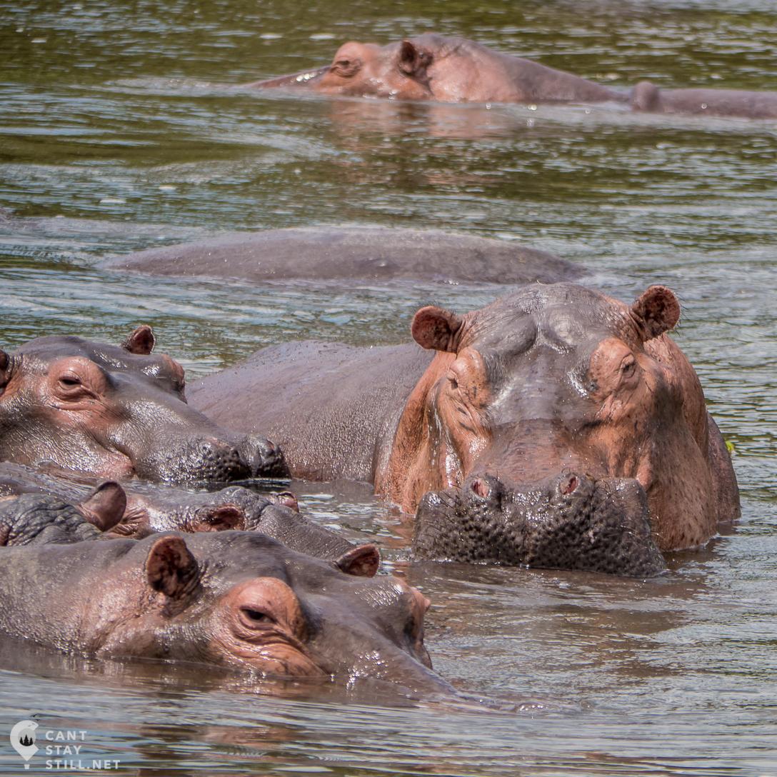 hippos in water in safari in Uganda, Africa