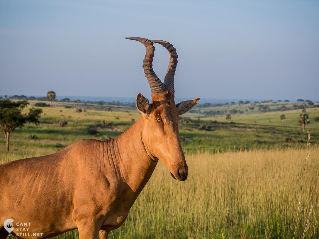 Jackson's Hartebeest in safari in Uganda, Murchison Falls
