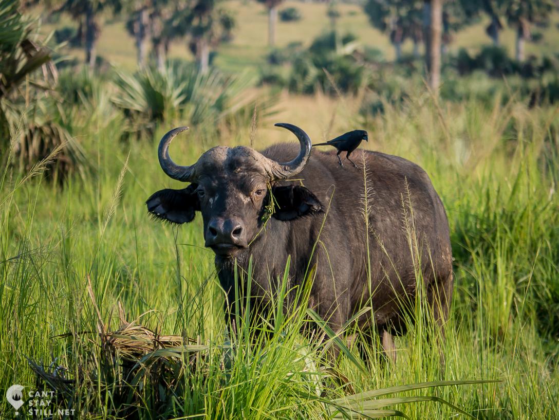 bird on a water buffalo in safari in Uganda, Africa
